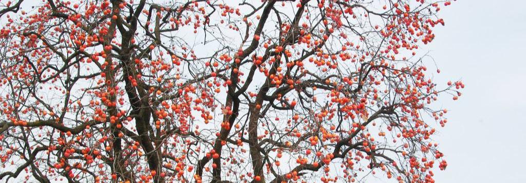 柿子红了,幸福来了